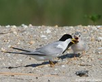 Least Tern feeding chick