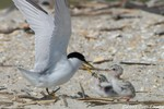 Least Tern feeding chicks
