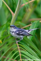 Highlight for Album: Sussex County, NJ Warblers