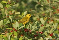 Highlight for Album: Yellow Warbler