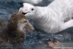 Hall's Giant Petrel & Wandering Albatross