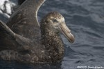 Hall's Giant Petrel