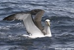 Shy Albatross (salvin's)