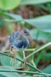 Purple Gallinule (juvenile)