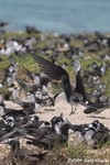 Sooty Tern & Common Noddy