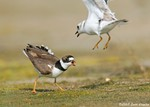 Piping Plover & Semipalmated Plover