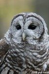 Barred Owl - captive