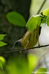 Mourning Warbler x Common Yellowthroat