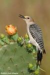 Golden-fronted Woodpecker female