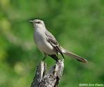 Nothern Mockingbird